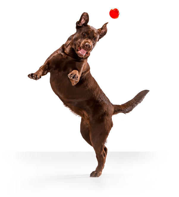 Brown dog jumping to catch a red ball