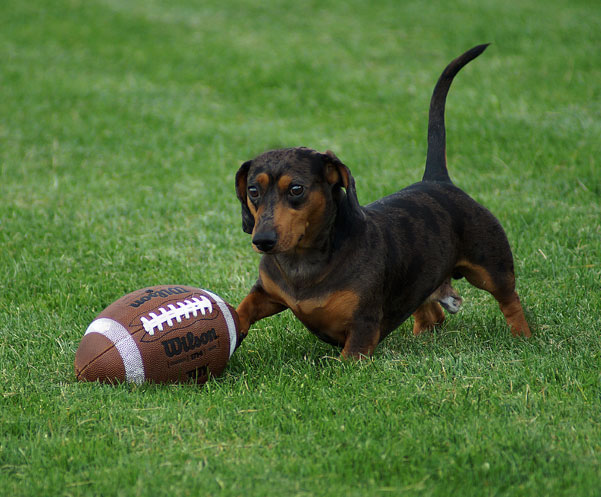 Dachshund playing with a football