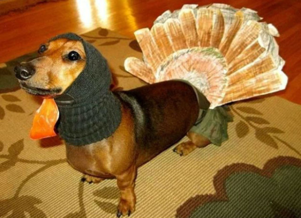 dachshund dressed up like a turkey