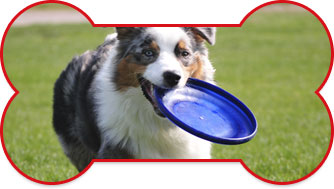 Australian Shepherd with a carrying a blue frisby