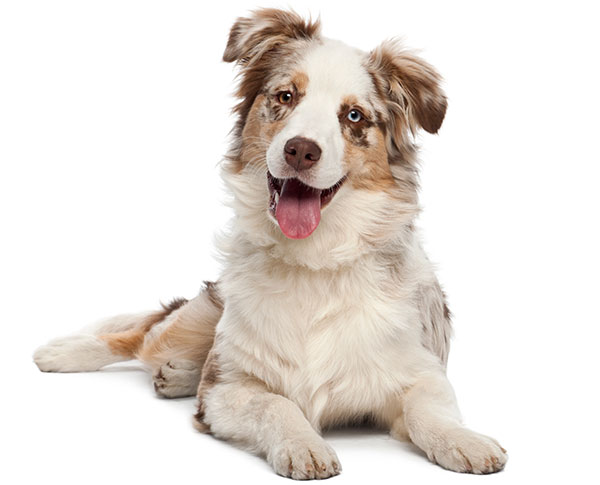 Australian Shepherd laying down and smiling