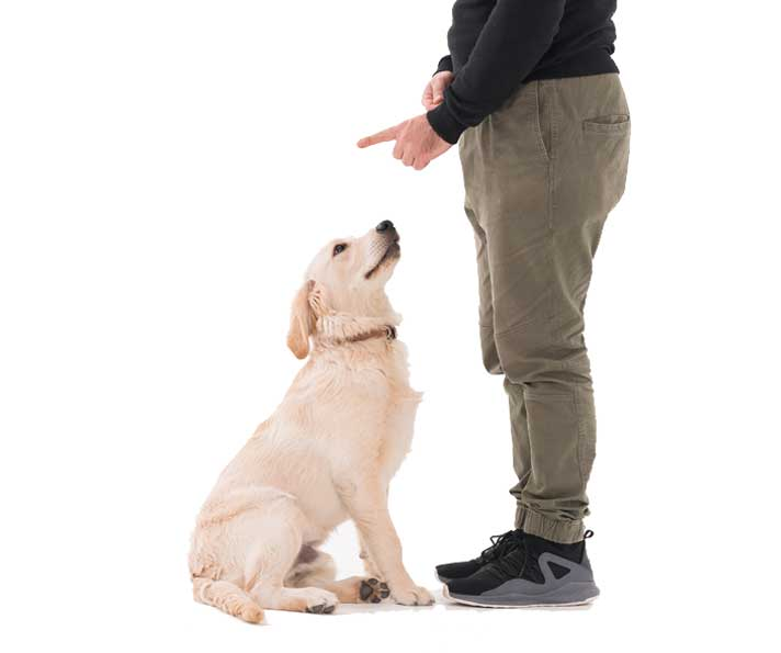 Training a golden retriever puppy
